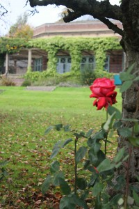 A rose sits amongst the autumn leaves in a park in Harrogate